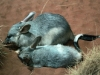 Greater Bilbies - mother and son, Alice Springs Desert Park