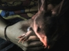 A Bilby keen to be on her way! You can see why they are adept diggers - look at those claws