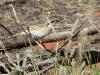 Grey-Fronted Honeyeater, Mt Gillen area, Alice Springs