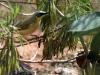 Grey-Headed Honeyeater, Alice Springs Desert Park