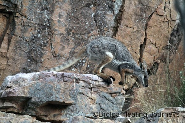 Yellow-Footed Rock Wallaby, a great indication of the camouflage its coat provides