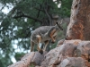 Another Yellow-Footed Rock Wallaby