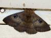 Woomera moth