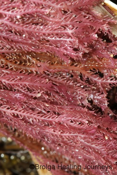 Seaweed, macro shot