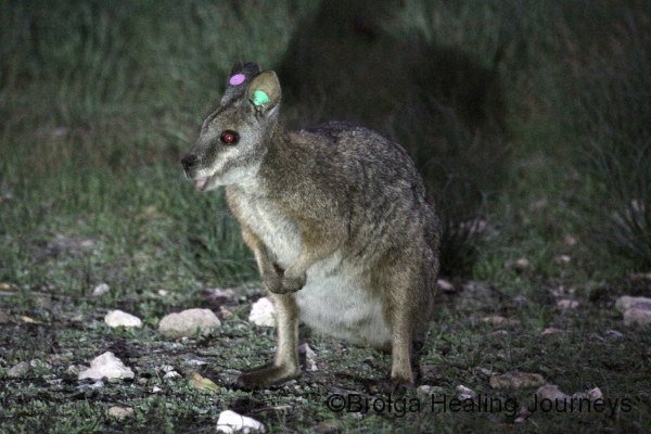 Tammar Wallaby, Inneston. The ear tags are not fashion statements - they are to allow the wallabies to be monitored