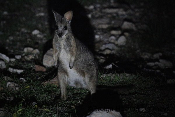 A young Tammar Wallaby, yet to be tagged.  Possibly this year's young