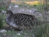 Malleefowl, Inneston, scratching around for food