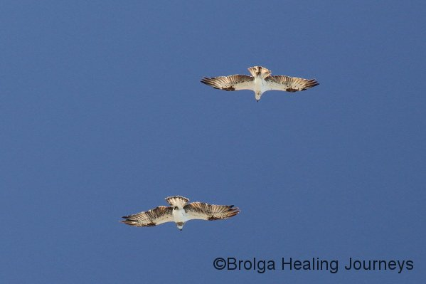 Two Ospreys in flight