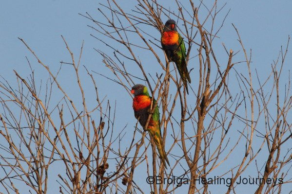Rainbow Lorikeets near campsite
