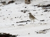Not sure, could be a Pipit or a Sandpiper