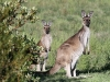 Western Grey Kangaroos, mother & child. We have never seen prettier roos than those at Innes