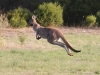 In full flight. Western Grey Kangaroo