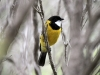 Male Golden Whistler, walk from Browns Beach to Gym Beach.  You hear his beautiful song, then see a flash of gold through the trees