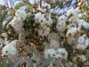 Enormous eucalypt blossums near campsite