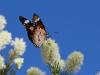 Butterfly on Melaleuca blossom, Stuart Hwy, Alice Springs