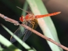 Dragonfly, Trephina Gorge, East MacDonnell Ranges