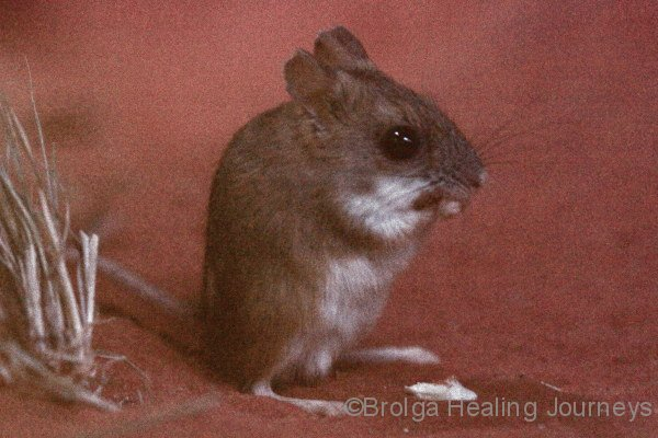 The endangered Spinifex Hopping Mouse.  It's hard to imagine anything cuter than this little fellow.