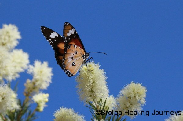 Butterfly on Melaleuca blossom, Stuart Hwy, Alice Springs