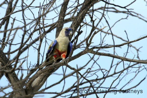 At last, a half decent photo of a Blue Bonnet.  These parrots are elusive and flighty!