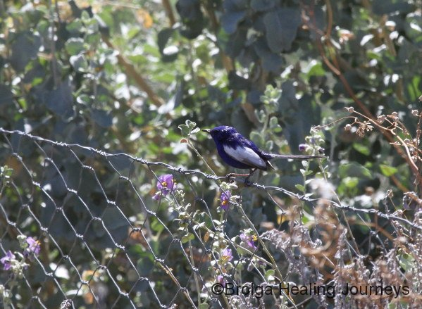 A male White-winged Fairy Wren