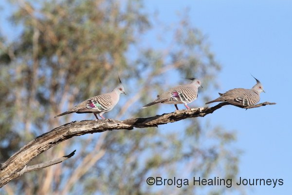 Three Crested Pigeons.  The female (right) does her level best to ignore the attentions of two suitors.