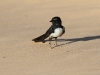 Willie Wagtail. These perky little birds would have a go at anything from a Magpie up to an Eagle.