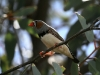 Zebra Finch