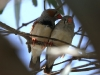 Two Zebra Finches shelter from the heat.