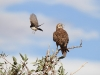 Brown Falcon being harrassed by a Willie Wagtail