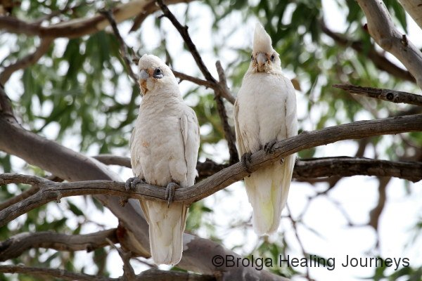 Two Little Corellas shelter in the shade of a coolibah.