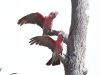 A couple of Galahs rousing at the photographer