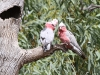 Galahs, male (left, with dark eye) and female (right, pale eye)