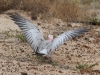 Details of the wings of a galah