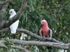 Little Corella and a Galah rest in the shade of a Coolibah.