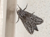 Moth at Kalamurina
