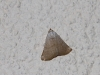Small kalamurina moth