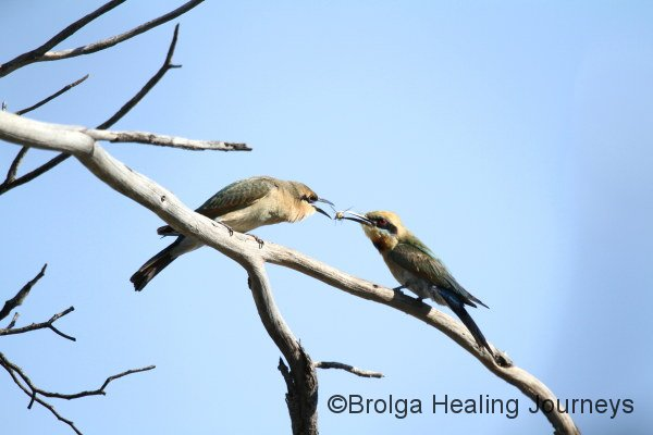 Adult Rainbow Bee-eater feeding its young.