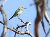 Rainbow Bee-eater
