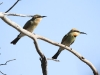 Two Rainbow Bee-eaters (juvenile left and adult right)