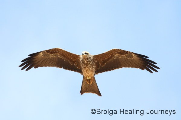 Black Kite in flight.  We fell in love with these birds.