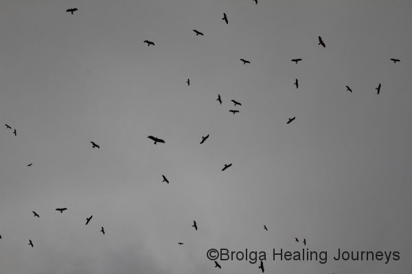 A common sight!  A flock of Black Kites circle overhead.