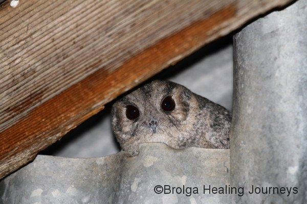 Australian Owlet Nightjar.  This beautiful little bird lived in the shed next to our cottage, and would emerge each evening to go hunting.