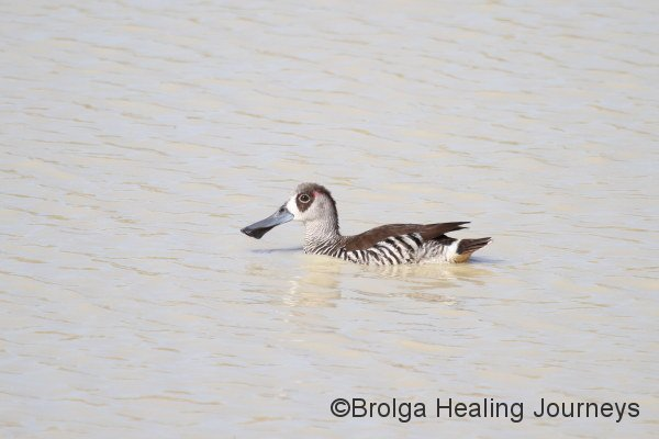 Pink Eared Duck