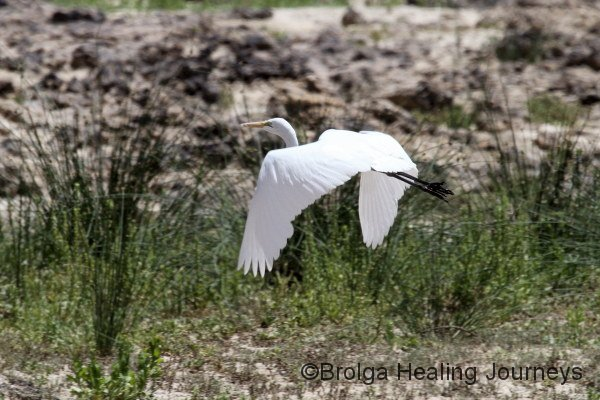 Great Egret in flight.