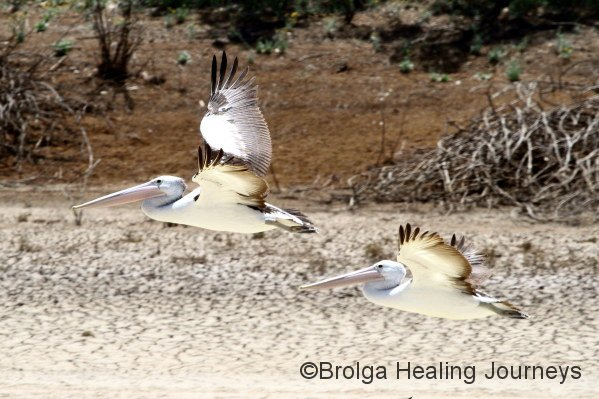 Pelicans in flight along Warburton Creek