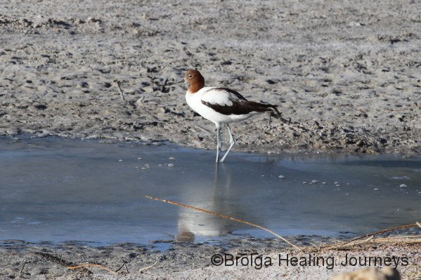 Red-Necked Avocet, on Warburton Creek, our first sighting!
