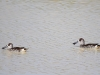 Pink Eared Ducks