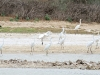 Egrets on Warburton Creek