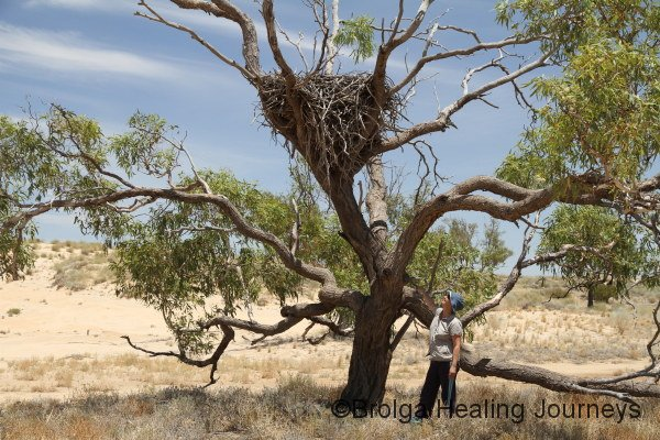 Nirbeeja stands below the Wedge-tailed Eagle nest, giving some idea of its size.