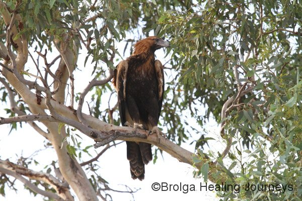 Juvenile Wedge-tailed Eagle (one of the Three Amigos!)